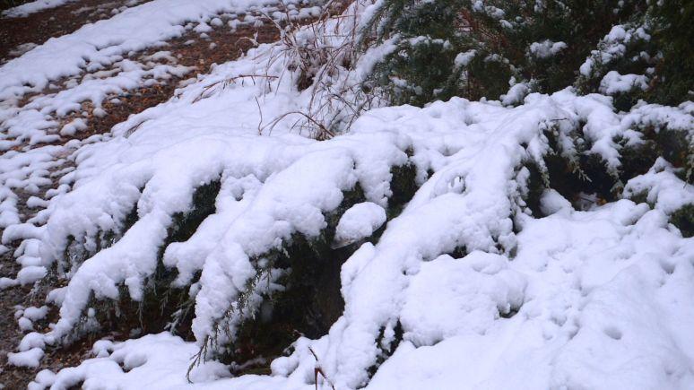 junipers in snow at north carolina otter creek