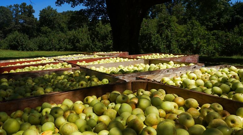 Apple Valley North Carolina harvest time