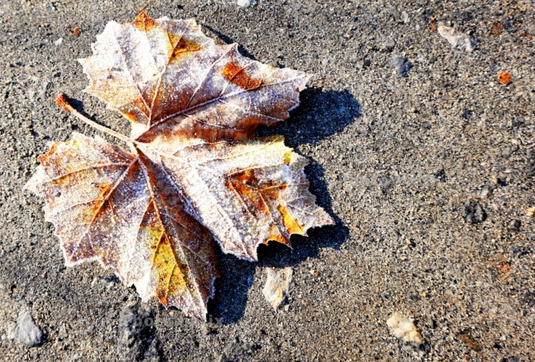 Sycamore Frost