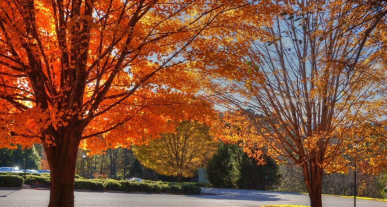 Two Maples