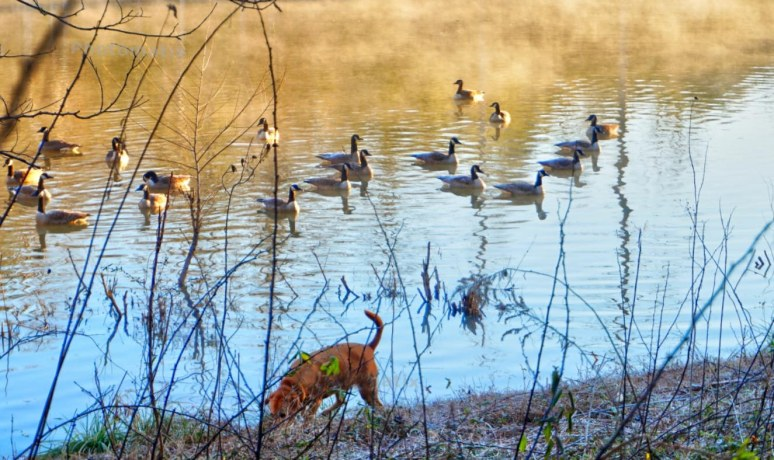 buddy geese 2
