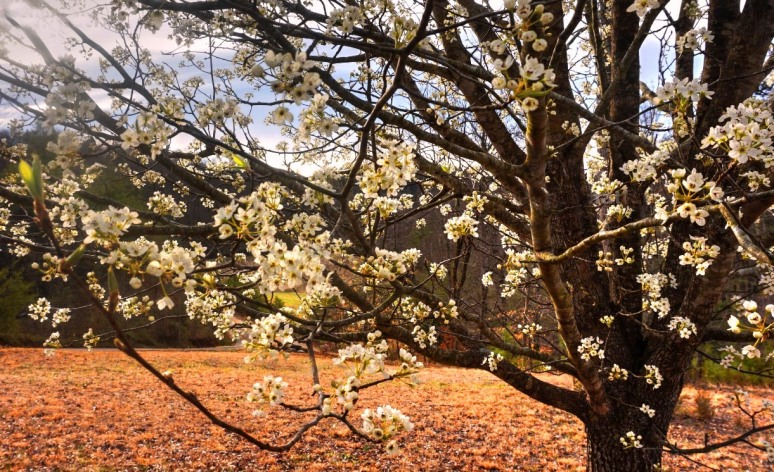blossoms 1