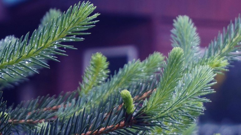 spruce 2
