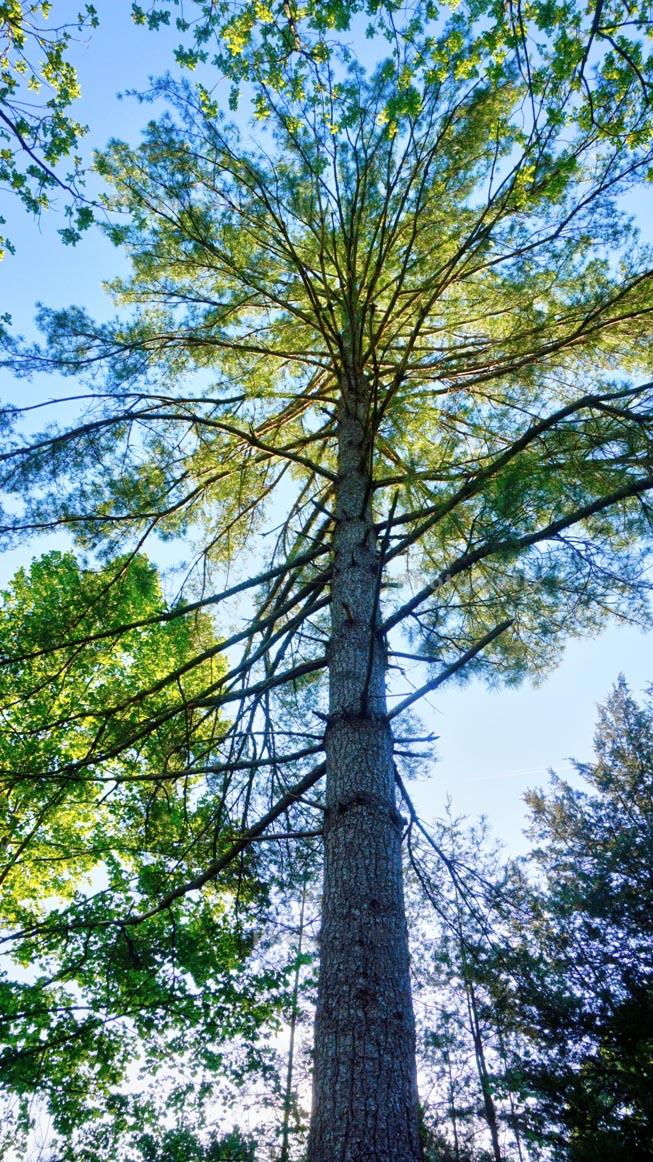 white pine 2