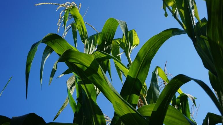 corn blue