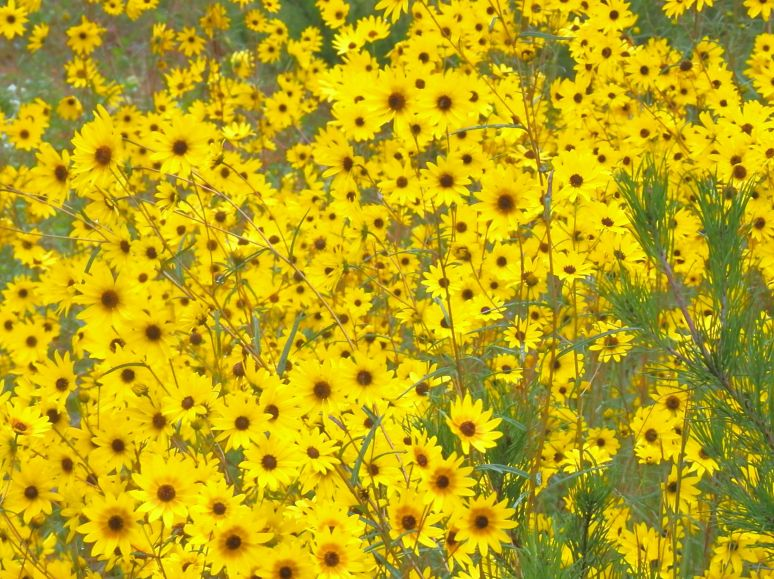 Narrow leaf sunflower meadow