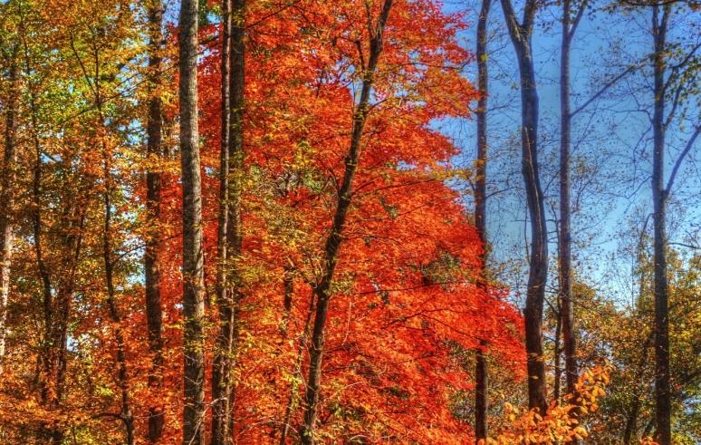 bright maple 1