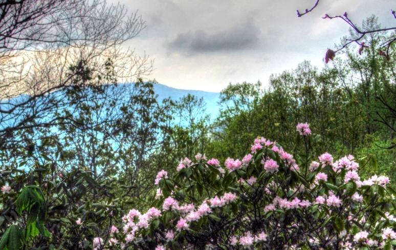 azalea mountain