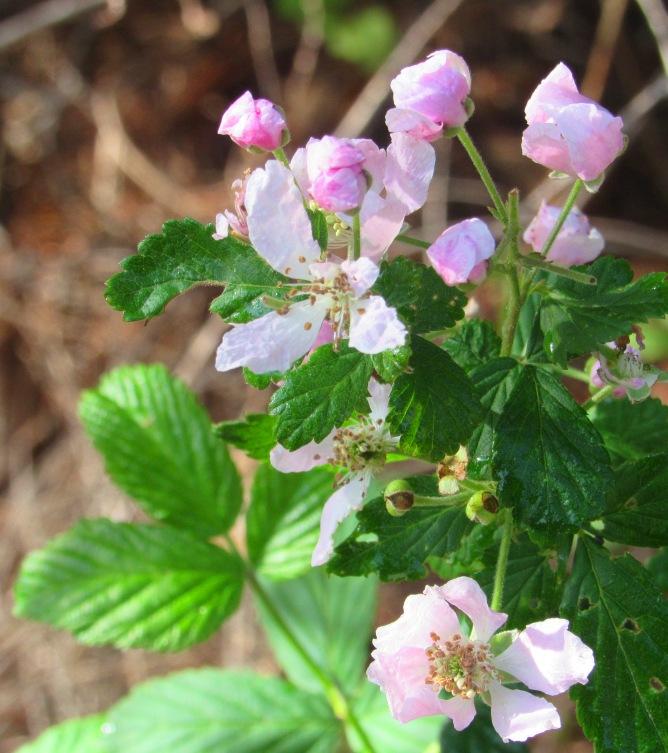 pink berries 1