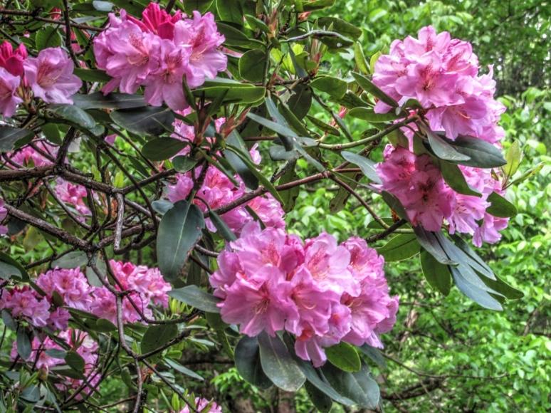 pink rhodo 2