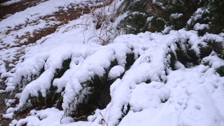 junipers in snow at north carolina otter creek