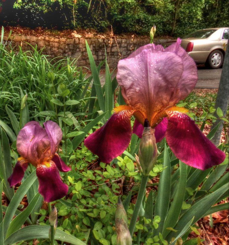 Sunset Mountain Asheville Iris 1